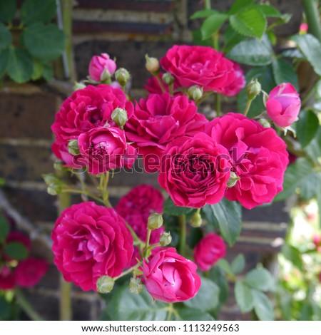 Flowering Pink Red English Rose Chevy Chase Climbing Rose Bush