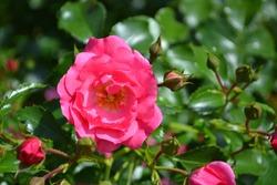 Flowering Pink Rose 'Flower Carpet' (Rosa hybrida)