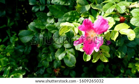 Flowering pink rosehip with green leaves. Spring, summer botany photo