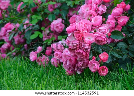 Flowering pink roses in the garden. Shallow depth of field #114532591