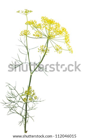 Flowering plant dill (Anethum graveolens) on a white background
