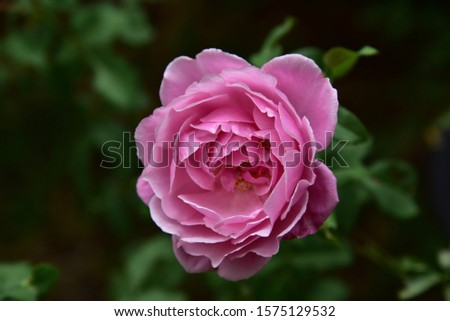 Flowering plants. Stems, stems, branches and thorns. Single flower and bright pink bouquet with a mild fragrance Growing up Beautiful bloom #1575129532