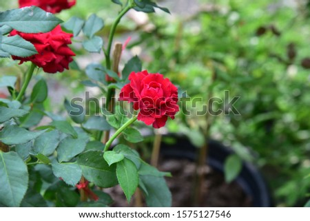 Flowering plants. Stems, stems, branches and thorns. Single flower and bright red bouquet with a mild fragrance Growing up Beautiful bloom #1575127546