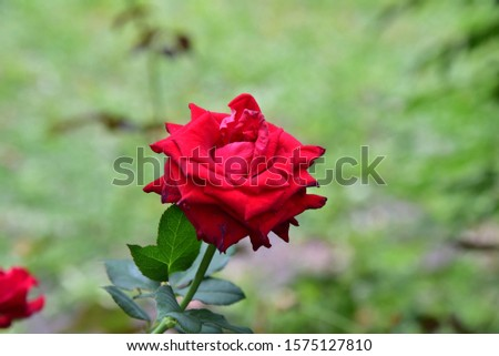 Flowering plants. Stems, stems, branches and thorns. Single flower and bright red bouquet with a mild fragrance Growing up Beautiful bloom #1575127810