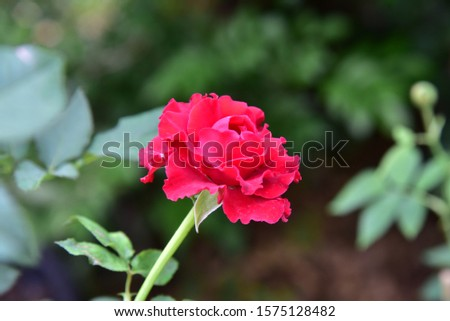 Flowering plants. Stems, stems, branches and thorns. Single flower and bright red bouquet with a mild fragrance Growing up Beautiful bloom #1575128482