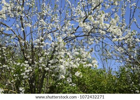 Flowering plum garden. Farm garden in spring. #1072432271