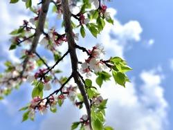 Flowering plum tree branch against the sky.