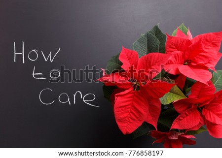 Flowering Poinsettia on a dark background and the inscription how to care is a picture to illustrate the creation of your home garden.