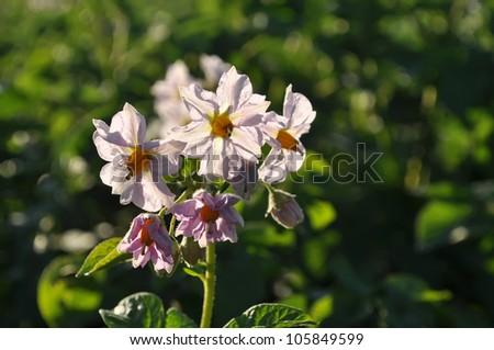 flowering potato
