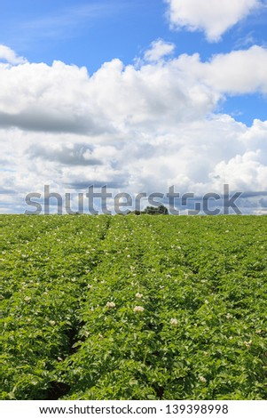 Flowering potato field in the summer