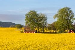 Flowering rape fields with houses in rural landscape