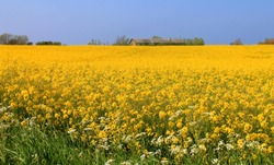 Flowering rapeseed field in the Danish country side