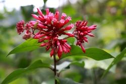 Flowering Red Cestrum Fasciculatum nightshade jessamine red cestrum Plant. Red Cestrum or Early Jessamine, Cestrum fasciculatum, Solanaceae, Sikkim, India. Hammer shrub, pink and red flower buds