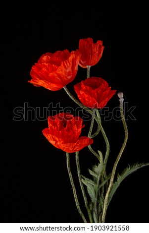 Flowering red garden poppies with bent stalks and undiscovered green buds on a black background. Poster, banner, card Stock photo ©