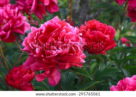Flowering red peonies close up growing in the garden #295765061