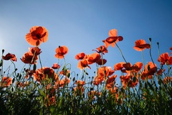Flowering red poppy flowers with a blue sky on a background, Spain