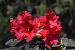 Flowering Red Rhododendron 'Baden-Baden' (Rhododendron hybrid)