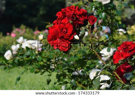 Flowering red roses in the garden #174333179