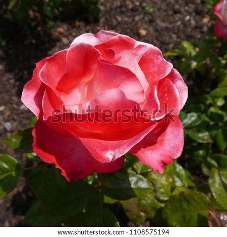 Flowering Red White English Nostalgia Rose Bush
