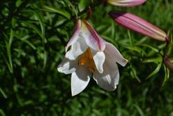 Flowering Regal Lily (Lilium regale)