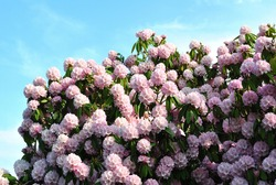 Flowering Rhododendron Bush against Blue Sky