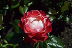 Flowering Rose 'Nostalgia' (Rosa x hybrida)