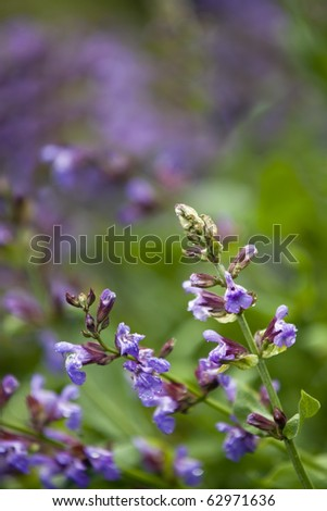 Flowering sage, in spring rain.  Blurred background. - stock photo