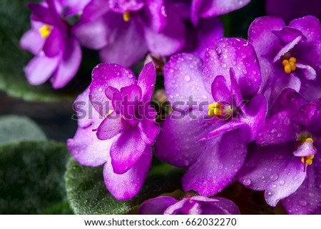 Flowering Saintpaulias, commonly known as African violet. Mini Potted plant. A dark background. Selective focus #662032270