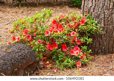 Flowering shrub azaleas in natural conditions