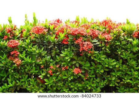 Flowering shrub of red Ixora coccinea isolated on white background. It is also known as Jungle Geranium, Flame of the Woods or Jungle Flame