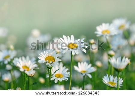 Flowering spring daisy