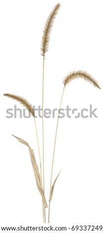Flowering stems of ornamental fountain grass. Very high-res.