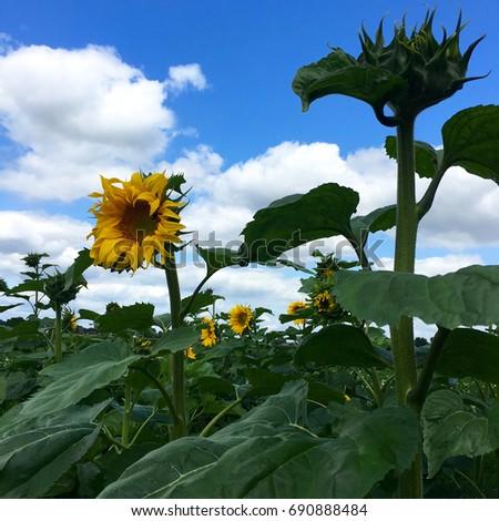 Flowering sunflower #690888484
