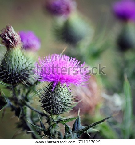 Flowering thistle with pink flowers