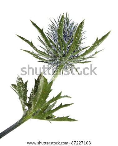flowering thistles , blue sea holly in the snow (eryngium planum ) isolated on white background