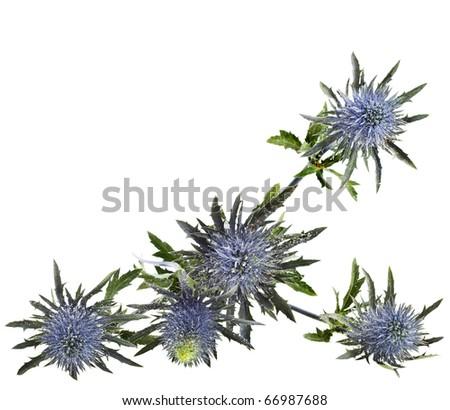 flowering thistles , blue sea holly snowy (eryngium planum ) isolated on white background