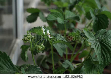 Flowering time of strawberry plants. Berry plant green seedlings planted in pots and growing on the window sill of the apartment balcony. Home gardening example.