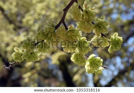 Flowering tree, blooms ebony, ebony #1053318116
