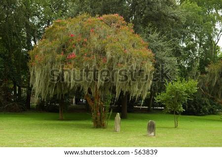 Flowering tree in cemetery.