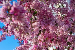 flowering tree of decorative apple tree (malus royalty tree)