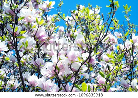 Flowering Tree with Pink Petals on a Clear Spring Day. #1096835918