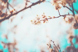 Flowering trees in the spring. Selective focus.