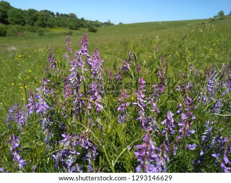 Flowering tufted vetch (Vicia cracca)