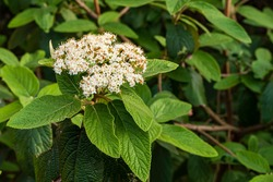Flowering viburnum leatherleaf (Viburnum rhytidophyllum Alleghany) on blurry dark background. Selective focus. Close-up. Beautiful white inflorescences of flowers with dark textured green leaves.