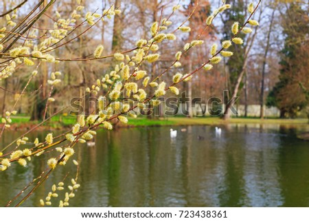 Flowering willow branches on a background of lake, Swan, ducks in the Early spring