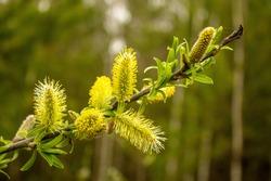 flowering willow spring