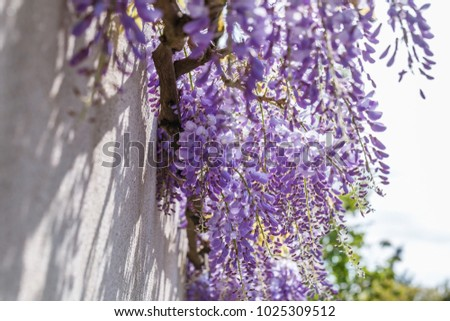 Flowering Wisteria plants on house wall background.  Natural home decoration with flowers of Chinese Wisteria ( Fabaceae Wisteria sinensis ) #1025309512