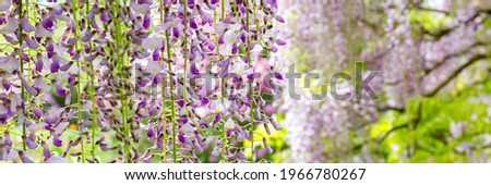 Flowering Wisteria tree in garden. Blue Wisteria  flowers in sunny day, banner. Lila Wisteria blossom Foto stock ©