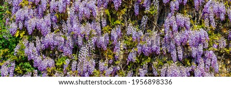 Flowering Wisteria tree in garden. Chinese Wisteria ( Fabaceae Wisteria sinensis ) flowers in sunny day, banner. Lila Wisteria blossom, banner.   Foto stock ©