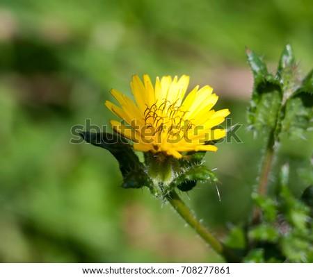 flowering yellow dandelion flower head Taraxacum officinale; Essex; England; UK #708277861